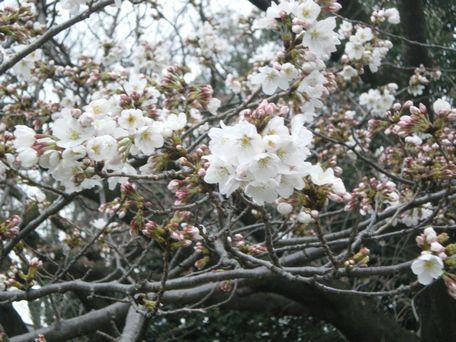 3月23日の桜。