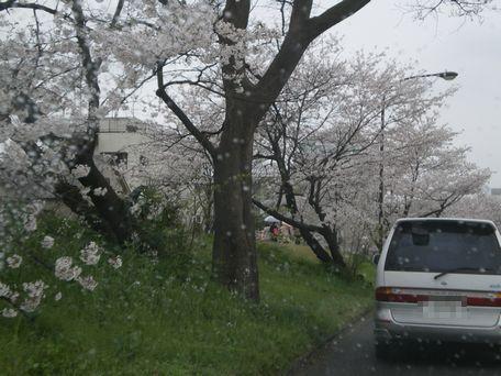 雨の花見。