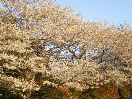4月1日の桜。
