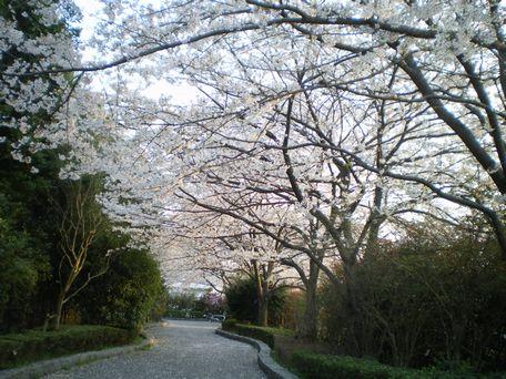 桜の小道。