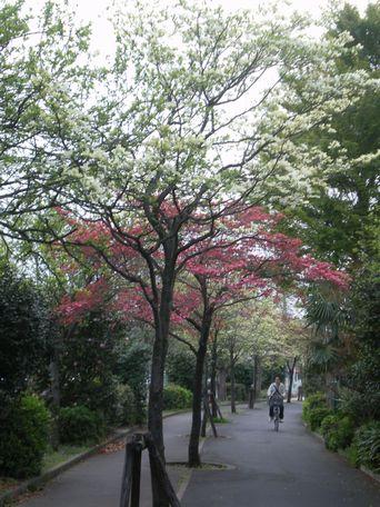 花水木の散歩道。