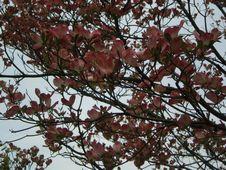 ピンクの花水木。