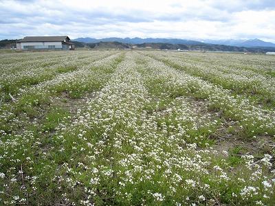 ペンペン草畑