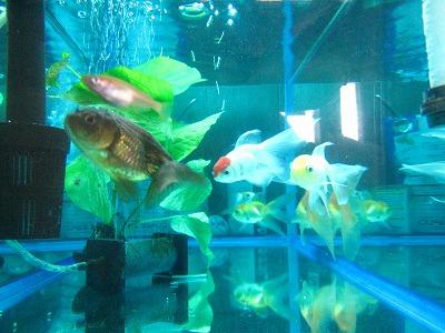 メダカと金魚