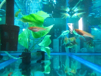 メダカと金魚2