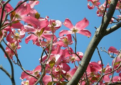 浅草のこぶしの花