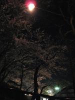千秋公園のお花見