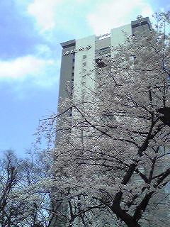 法政大学と咲き誇る桜