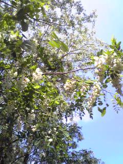 甘い香り漂うアカシヤの花