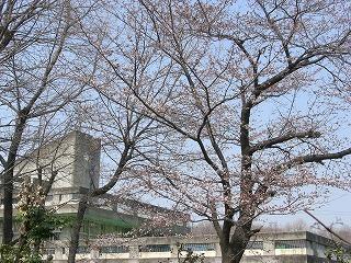 ほころび始めた桜と北山小