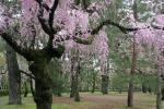 080410御所桜