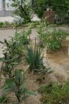 080602今年の菜園