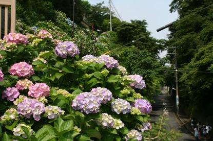 成就院の紫陽花1