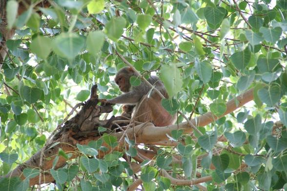 タージマハル側のお猿さん