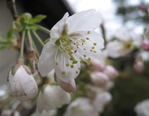 桜080320-1