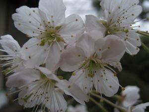 桜080320-2