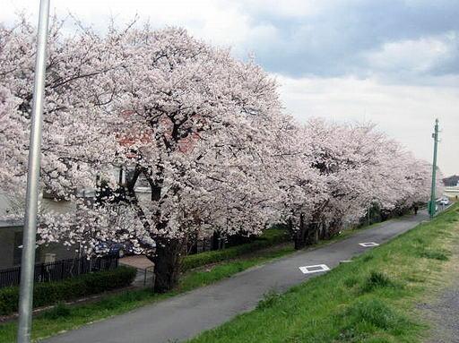 和泉多摩川の桜