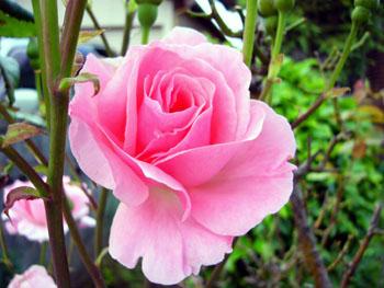 P1040741 バラの花