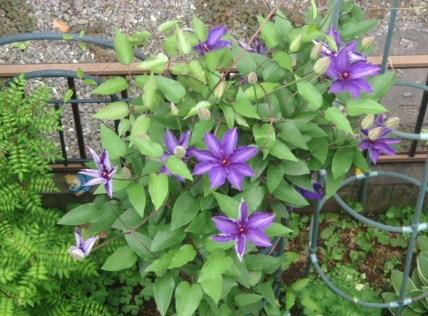 クレマチス紫