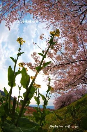菜の花サクラ