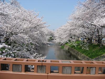 岩倉の桜2