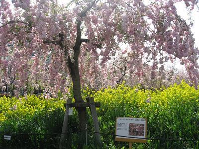 雨情枝垂桜