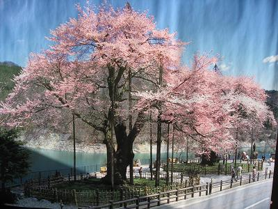 ポスターの桜