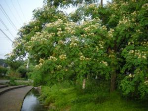 白花のねむの木