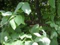 キジバトの空の巣