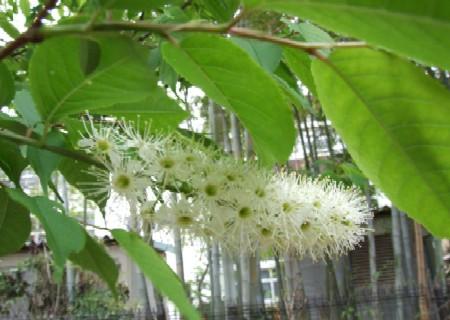 ウワミズザクラの花穂