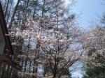 ケヤキハウスの富士桜