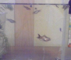 金魚稚魚080725