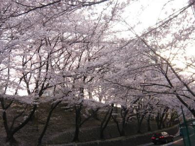 四天王寺大学前の桜並木