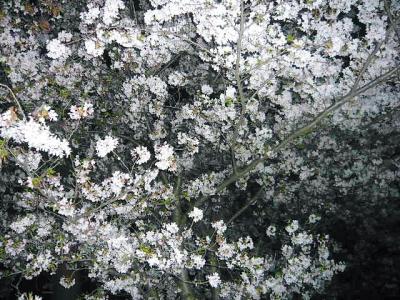 翠花庭園の桜