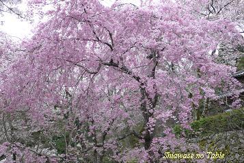 勝持寺枝垂桜