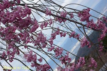 濃いしだれ桜