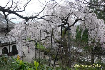 大しだれ桜