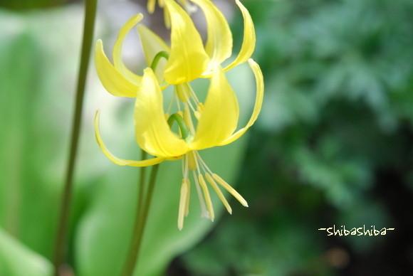 2008年庭の花 かたくりの花
