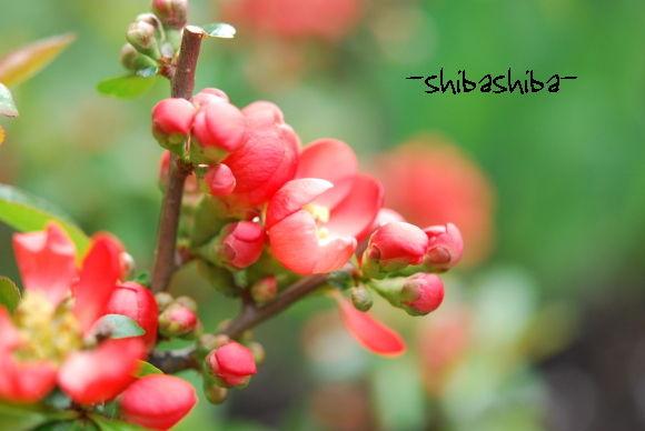 2008年庭の花 ぼけの花