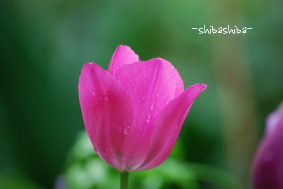 2008年庭の花チューリップ