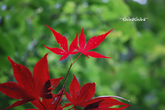 2008年紅い葉