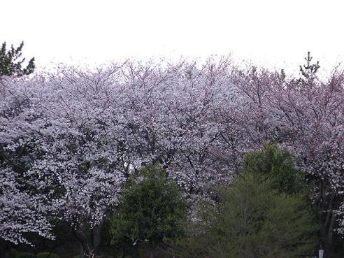 岸根公園お花見 019