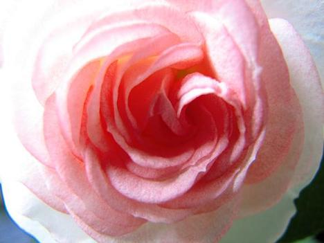 やわらかなバラ