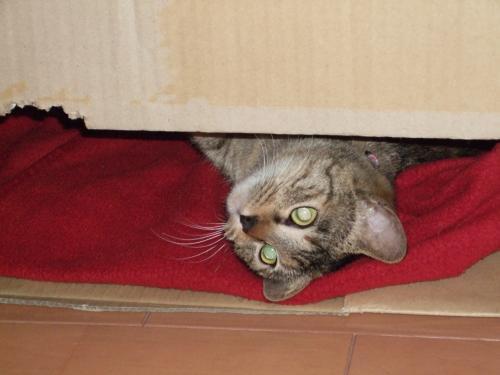 箱から覗くしゃあ