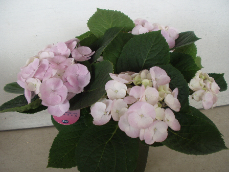 紫陽花 ユングフラウジェミニ
