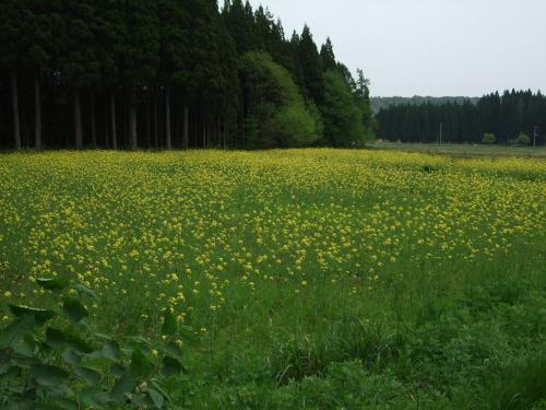 菜の花(萱沢)