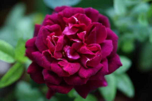 フランシス二番花