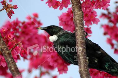 tui-bird