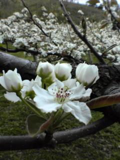 PAP_0072 梨の花