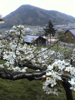 PAP_0071 梨の花2